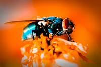 Colorful Fly with Orange Background - Macro