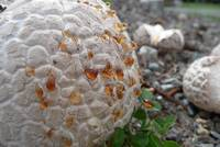 Dew on a puffball