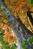 Sycamore tree trunk with Autumn leaves