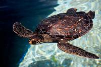 Green Sea Turtle 32218