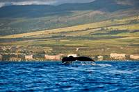 Humpback whale tail 15717