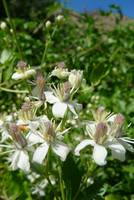 Western White Clematis