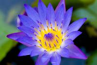 Purple Lotus In Full Bloom
