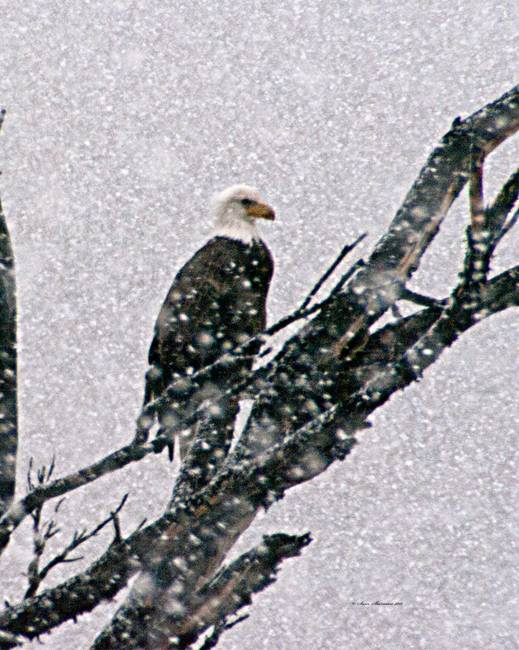Bald Eagle in tree during snow storm #1