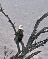 Bald Eagle in tree during snow storm #2