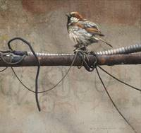 cast offs / old wire and house sparrow