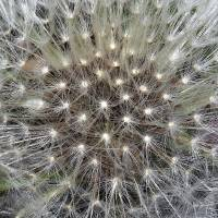 Dandelion Dream Puff II by Laura Mountainspring