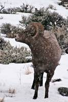 Big Horn Sheep Ram #2