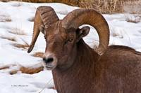 Big Horn Sheep Ram #6