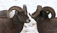 Big Horn Sheep Ram #10