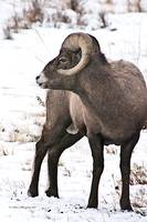 Big Horn Sheep Ram #11