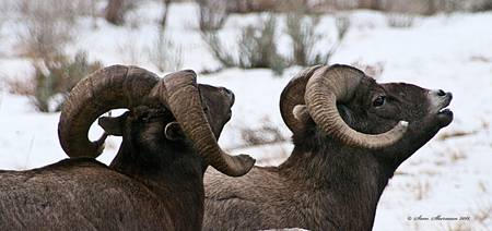 Big Horn Sheep Ram #12