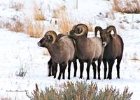 Big Horn Sheep Rams #15