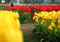 Depth of Tulip Field 2
