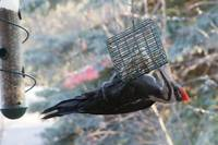 Pileated on Feeder