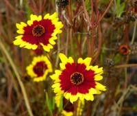 Plains coreopsis Golden tickseed Goldenwave
