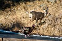 Doe Mule Deer and Turkey