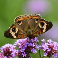 Butterfly   Buckeye with purple flower by Karen Adams
