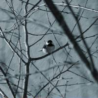 Black capped chickadee sits in a tree by Karen Adams