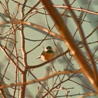 Chickadee in brown tones by Karen Adams