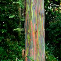 Rainbow Eucalyptus   (RD-462) Art Prints & Posters by Rob D