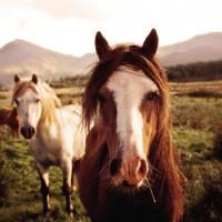 Snowdonia Horses Art Prints & Posters by David Turner