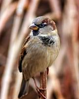 Portrait of a Male House Sparrow.