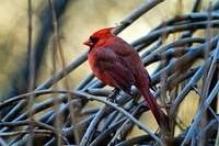 Mr. Northern Red Cardinal.