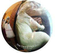 NYC  CENTRAL PARK ZOO Polar Bear fisheye view
