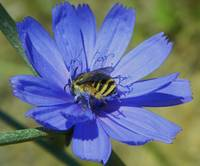 Bee on Chicory Flower Cichorium Intybus