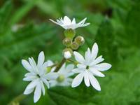 Woodland Star Lithophragma Parviflorum