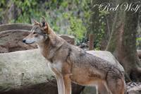 Red Wolf 2 Canvas
