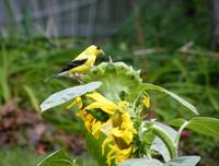 Finch on Sunflower