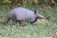 Armadillo in the Park