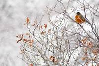 Robin in Winter