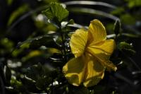 Yellow Hibiscus With Dewdrops
