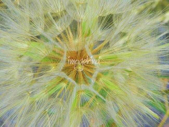 Yellow Goatsbeard Yellow Salsify