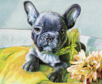 Gabriel, a French Bulldog puppy