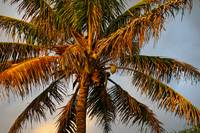 Coconut palm tree,Hawaii