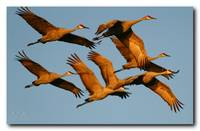 The Golden Hour Sandhill Cranes