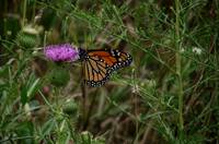 Monarch In The Meadow