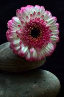 terencedavis floralart  Gerbera on the Rocks