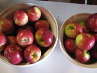 Our first apple crop