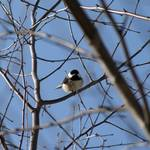 Chickadee with Blue Winter Sky