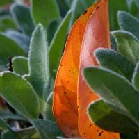 Orange Leaf by Jen Wheeler