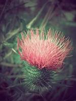 Canadian Thistle