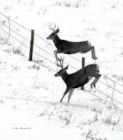 Two  Buck Deer Jumping fence (verticle)
