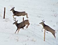 Three Mule Deer Bucks Jumping Fence