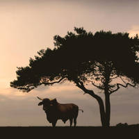 Brahman Bull and Pine Tree by I.M. Spadecaller