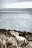 Sheep by the Seashore
